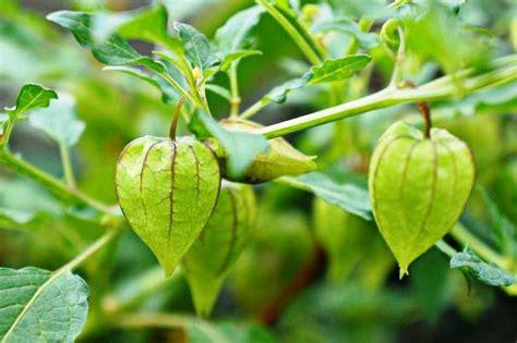 ciplukan ciri ciri tanaman  khasiat  manfaatnya