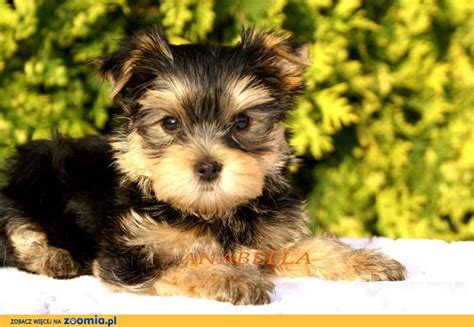pictures of big yorkies how big do terrier breeds picture