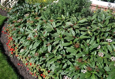 Winterharte Pflanzen Immergr N 1273 by Clematis Winterhart Immergr 252 N Clematis Efeu Und