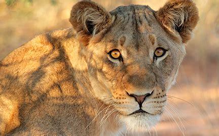 lioness | symbolic animal adoptions from wwf