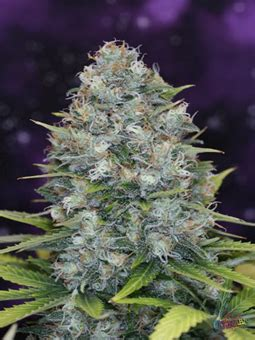 Sogen Mist from sog seeds strains io cannabis