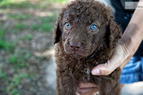 chesapeake bay puppies chesapeake bay retriever puppy for sale near houston 1824f982 a4b1