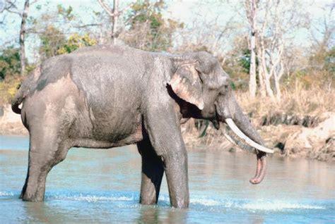 botanical name of elephant information about the asian elephant