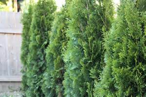 Trees To Plant In Backyard Landscaping In Birmingham A Case For Evergreen Trees