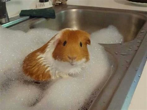 pig in a bathtub 297 best images about guinea pigs on pinterest guinea