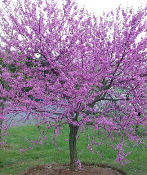 redbud tree eastern redbud single stem