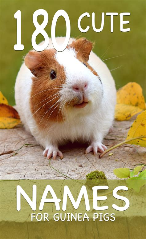 cute guinea pig names over a hundred fifty names to