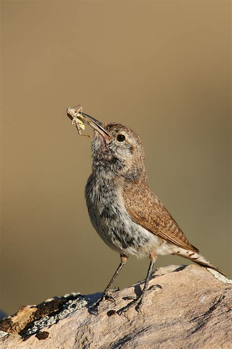 file rock wren jpg wikimedia commons