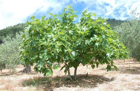 Budidaya Bibit Pohon Tin Indonesia cara mudah budidaya buah tin dan langkah langkah