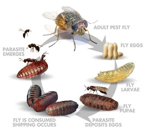 House Fly Lifespan by House Fly Cycle
