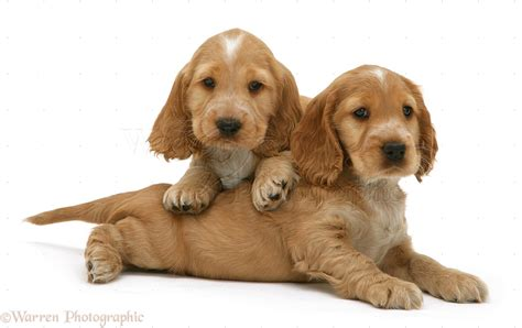 golden cocker spaniel puppies dogs golden cocker spaniel puppies photo wp09499