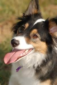 tri color collie discover and save creative ideas