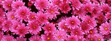 immagini fiori rosa copertine fiori rosa