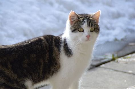 How To Make Cat Shed Less by Ask A Vet Why Does Cat Shed Less In Winter
