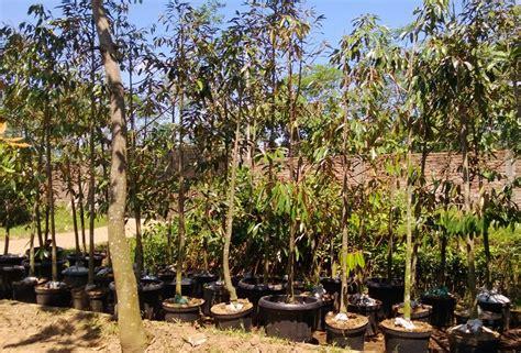 Bibit Durian Musang King Nganjuk sumenep jual bibit tanaman