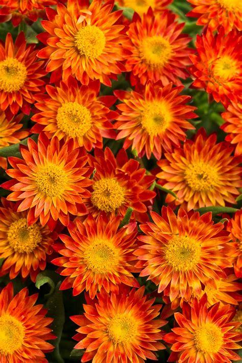 Orange Flowery top orange annual flowers for your garden hgtv