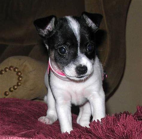 toy fox terrier pictures, information, temperament