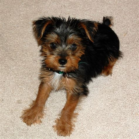 yorkie puppies mixed breed yorkie yorkie x terrier mix facts temperament puppies pictures