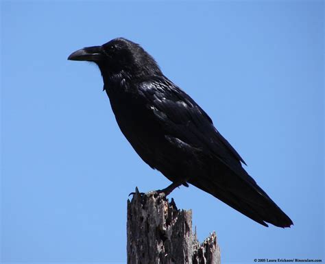 laura s common raven photos