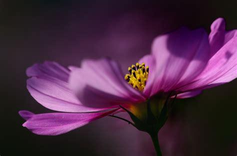 Blume Tränendes Herz 5223 by Die 55 Besten Pinke Hintergrundbilder