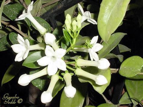 pianta con fiori bianchi molto profumati il giardino di giusalvo