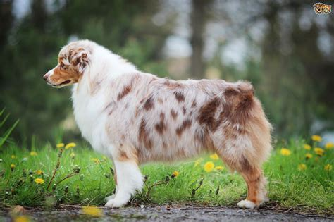 aussie breed australian shepherd breed information buying advice photos and facts pets4homes