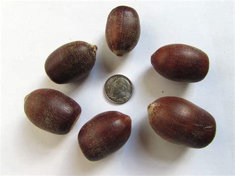 seed for sale quercus kelloggii tree seeds california black oak