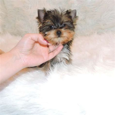 golden yorkies golden yorkie pup for sale joseph teacup yorkies sale