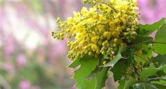 Pinterest Home Decor Fall oregon state flower the oregon grape proflowers blog
