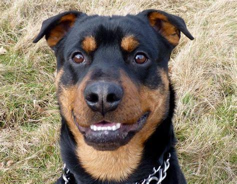 rottweiler x bull terrier 660d52e68fd0c7a479bd70b3a35d496e jpg
