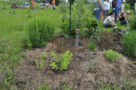 permaculture guilds fruit trees fruit tree guild at hilltop community farm area