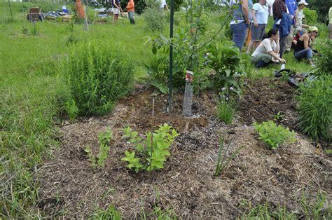 permaculture guilds fruit trees fruit tree guild at hilltop community farm area
