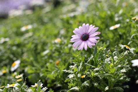african daisy picture 23