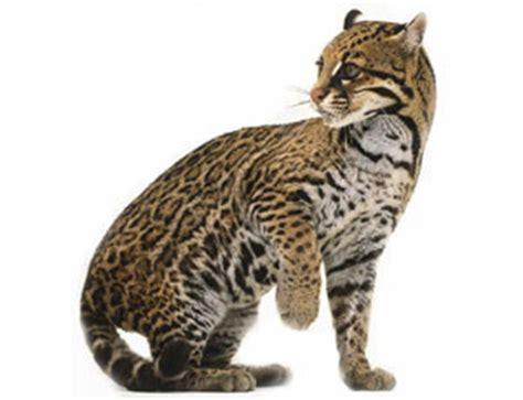 imagenes de onzas reales el gato onza taringa
