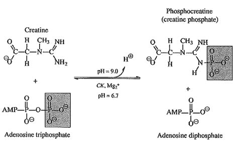 creatine reaction biochemistry class notes creatine kinase isoenzyme and