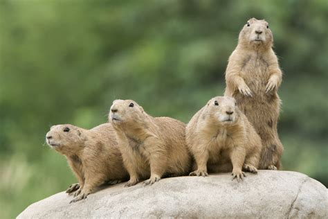 prairie dogs plains the in spain stays mainly on them 171 general discussion 171 forum