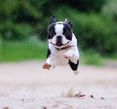 boston terrier puppies boston terrier breed information and images k9