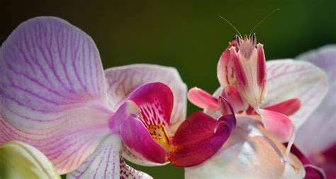 12 incredible orchid facts that no one ever told you the malaysian orchid mantis believe it or not