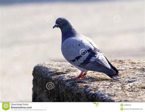 Pigeon Dot Eco S M L pigeon stock photo image 16096210