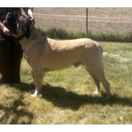 puppies grand junction co miramont mastiffs mastiff breeder in grand junction colorado