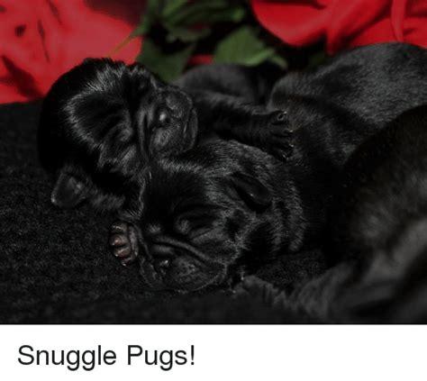 snuggle pug 25 best memes about pugs pugs memes