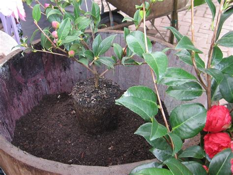 how to plant camellias how tos diy