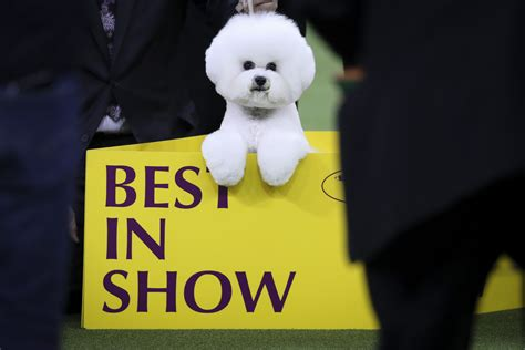 westminster show 2018 best photos from the 2018 westminster show other sports sporting news