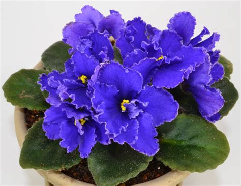 african violet pin african violet plants how to grow care vood on pinterest