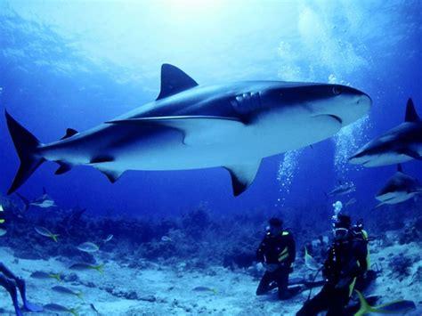 imagenes impresionantes de tiburones tiburones fotos videos info juegos etc taringa