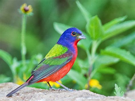 bird directory painted bunting