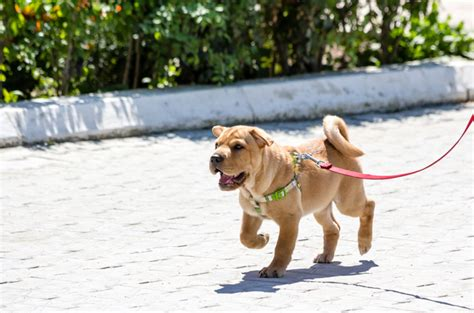 how to your puppy to walk on a leash teaching your puppy to walk on a leash