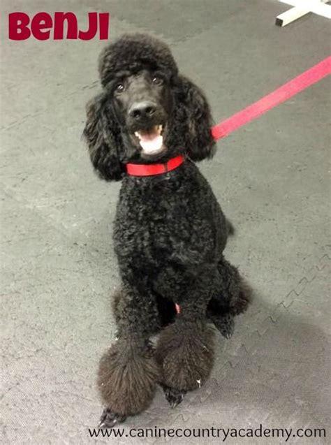 akc puppy test 501 best images about black poodles you to em on teacup poodle
