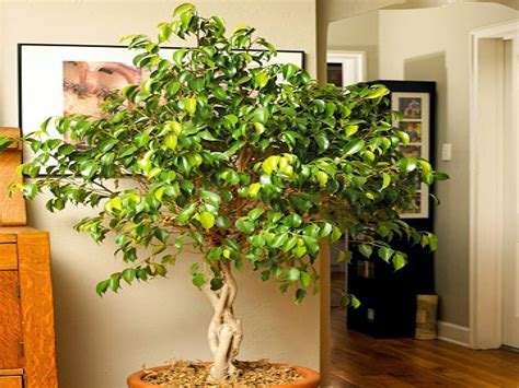 Best Low Light Indoor Trees | best indoor plants for low light indoor trees low light