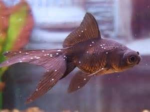 How to Treat Ich (Ichthyophthirius Multifilis) in Aquarium Fish